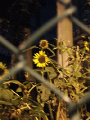 夜のヒマワリ
