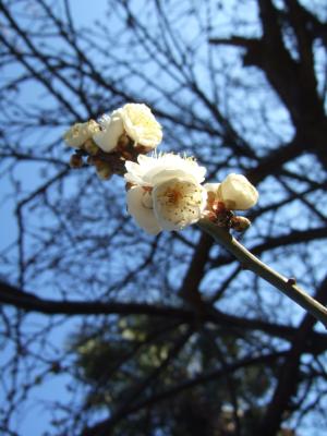 ECナビブログβ版-梅の花